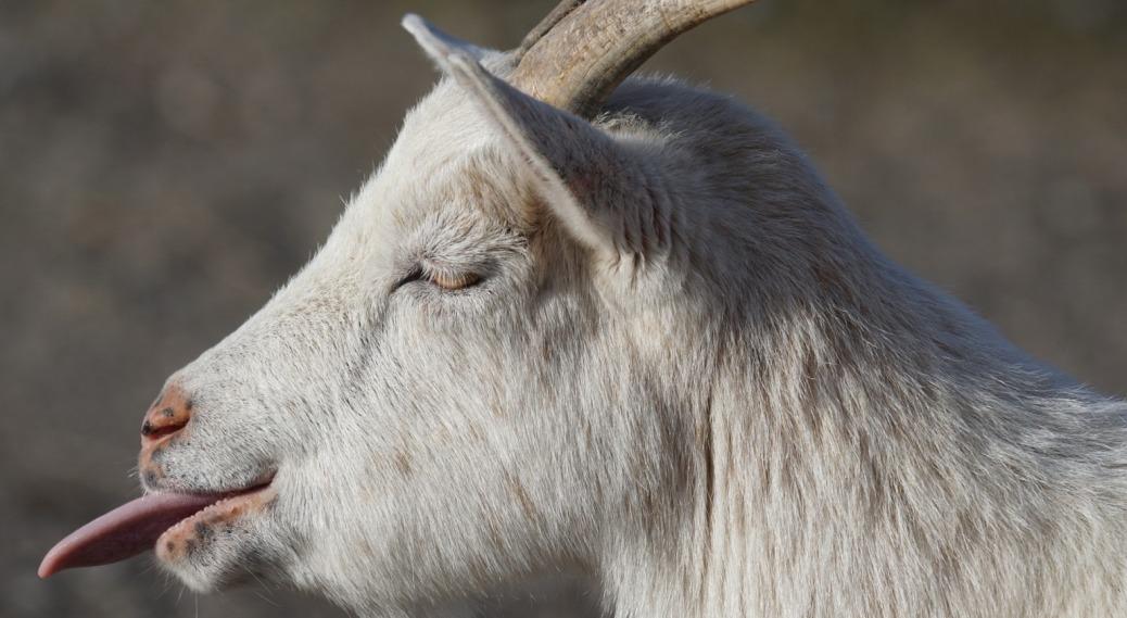 goat-1165110_1920